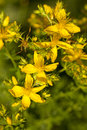 St. John's Wort Royalty Free Stock Photo
