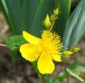St john s wort flower in the garden of greenery Stock Photo