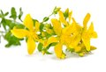 St john s wort flowering isolated on white Stock Image