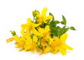 St john s wort flowers close up on white background Stock Photography