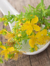 St john s wort herbal in the spoon on the wooden background Royalty Free Stock Photo