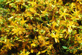 St john s wort known also as tipton weed flowers background medicinal use for depression treatment Royalty Free Stock Photo