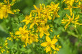 St john s wort a medicine plant Royalty Free Stock Photo