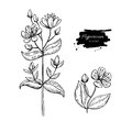 St. John`s wort vector drawing set. Isolated hypericum wild flower and leaves. Herbal engraved style illustration