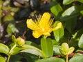 St. John`s Wort or Yellow Rose of Sharon, Hypericum calycinum, flower close-up, selective focus, shallow DOF Royalty Free Stock Photo