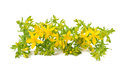 St. Johns wort Royalty Free Stock Photo