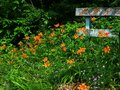 St peter s creek peach bottom pennsylvania wildflowers orange daylillies creekside Stock Images