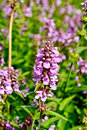 Stachys palustris Royalty Free Stock Photo