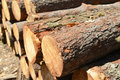 Stack of cut trees in forest Royalty Free Stock Image