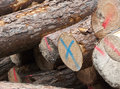 Stack of felled logs a red or blue marked fresh Stock Images