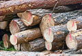 Stack of felled logs a red marked fresh Royalty Free Stock Photos