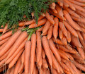 Stack of fresh picked carrots pile freshly and cleaned with green tops Stock Image