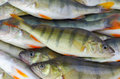 Stack of perch fishes european fish in Royalty Free Stock Image