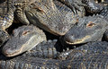 Stacked alligators oodles and oodles of gators Royalty Free Stock Images