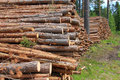 Stacked Pine Timber Stock Image