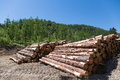 Stacks of logs at a forest logging site on sunny day Stock Images