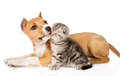 Stafford puppy licks a scottish kitten. isolated on white backgr Royalty Free Stock Photo