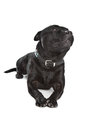 Staffordshire Bull Terrier Stock Photo