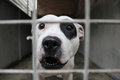 Staffordshire bull terrier behind bars Stock Images