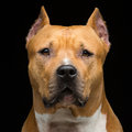 Staffordshire bull terrier Royalty Free Stock Photo