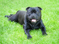 Staffordshire Bull Terrier Dog smiling lying on grass Royalty Free Stock Photo
