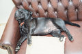 Staffordshire Bull Terrier sleeping on a leather sofa Royalty Free Stock Photo
