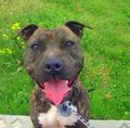 Staffordshire bull terrier a after walking Stock Photos