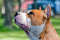 Staffordshire terrier head profile Stock Images