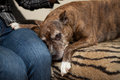 Staffordshire terrier at home on the couch sadness Stock Images