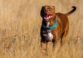 Staffordshire Terrier runs over a brown field Royalty Free Stock Photo