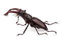 Stag-beetle Royalty Free Stock Photo