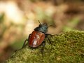 Stag beetle a crawled the rock Royalty Free Stock Photography
