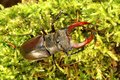 Stag beetle giant on moss Stock Photos