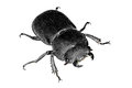 Stag beetle isolated on the white background Royalty Free Stock Images