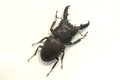 Stag beetle isolated Royalty Free Stock Photo