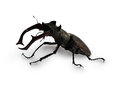 Stag beetle isolatet on white background Royalty Free Stock Images