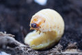 Stag beetle larva isolate on ground Stock Photo