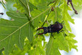 Stag beetle lucanus cervus is sitting on a turkey oak quercus cerris Royalty Free Stock Photos