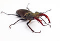 Stag beetle male lucanus cervus on a white background Royalty Free Stock Image