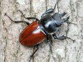 Stag beetle male a neolucanus swinhoei crawled the trunk Royalty Free Stock Photo