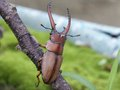 Stag beetle male a prosopocollus astacoldes crawled the branch Stock Image