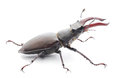 Stag beetle male reddish brown lucanus capreolus on white background Royalty Free Stock Image