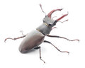 Stag beetle male reddish brown lucanus capreolus on white background Stock Images