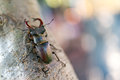 Stag beetle sitting on tree lucanus cervus macro photo very shallow depth of field large file size Stock Photo