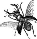 Stag beetle vector image of a flying big Stock Photography