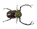 A stag beetle on white background Royalty Free Stock Photos