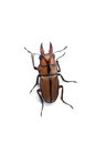 Stag beetle yellow on writ Stock Photos