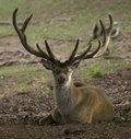 Stag deer Royalty Free Stock Photography