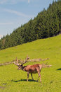 Stag deer in alps austria Royalty Free Stock Image