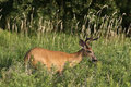 Stag deer in meadow Royalty Free Stock Photo